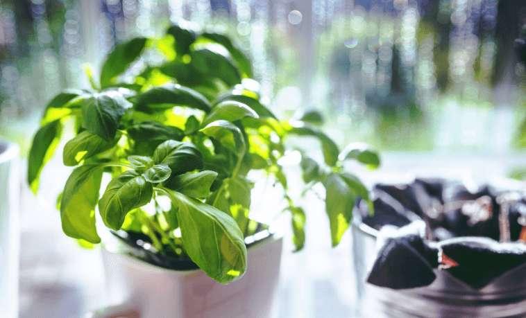 Ist Basilikum gesund? – Vorteile und Nebenwirkungen