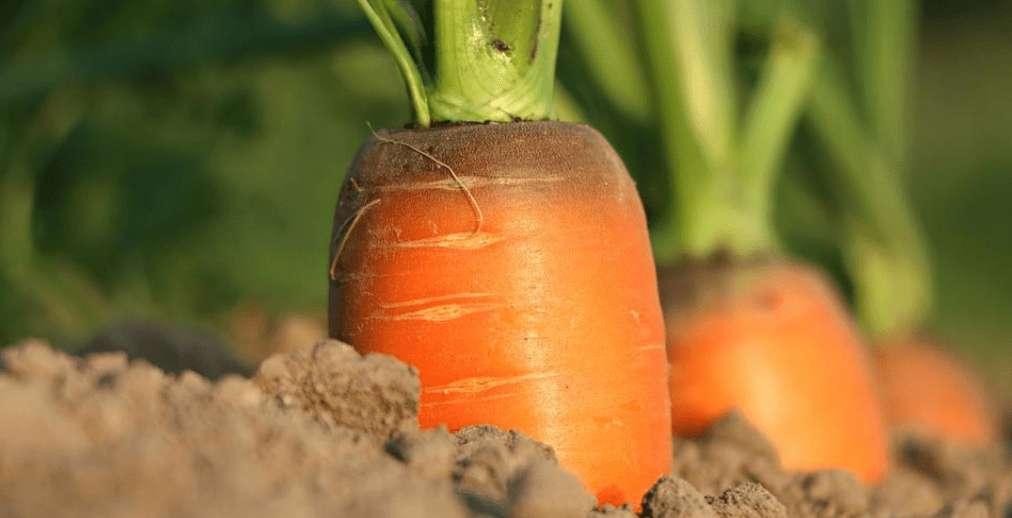 Sind Karotten gesund? 11 beeindruckende Vorteile!
