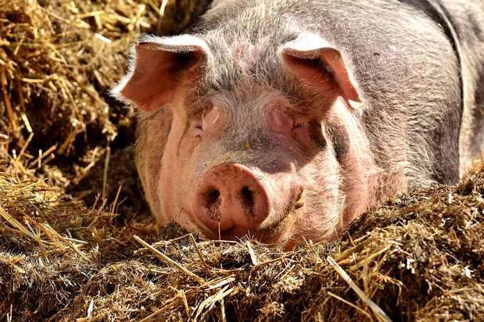 Schweinegrippe – Symptome, Ursachen und Behandlung