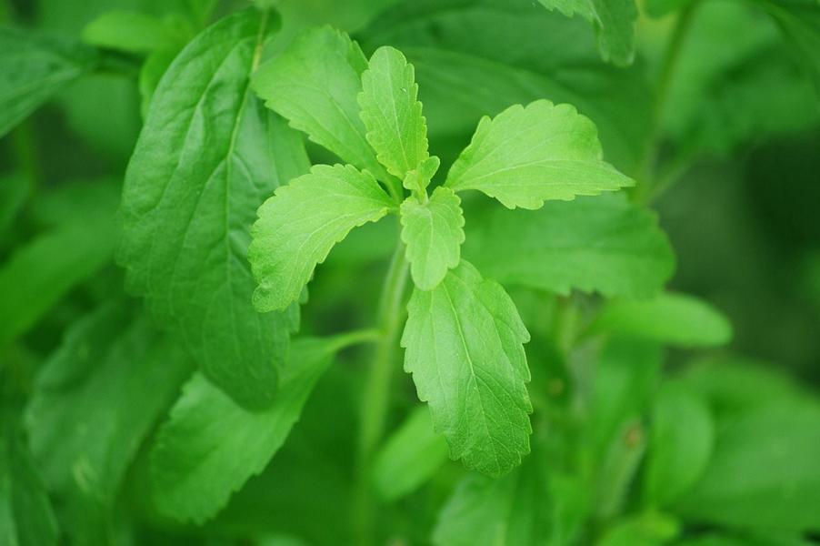 Ist Stevia unbedenklich? – Ja und Nein