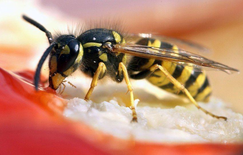 Was tun bei Wespenstichen? So handelst du richtig!